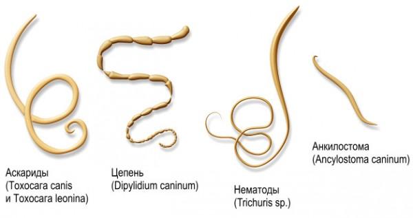 Гельминты, круглые кольчатые черви в человеке