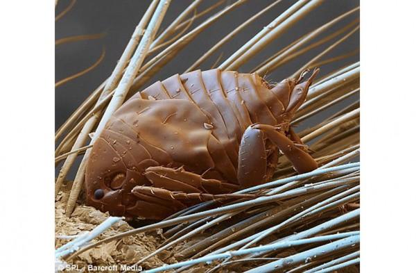 паразиты волосяного покрова человека