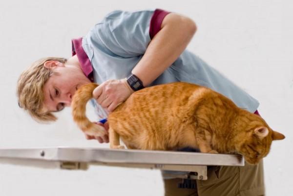 Как вивести глистов у кошки в домашних условиях