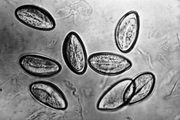 яйца гельминтов