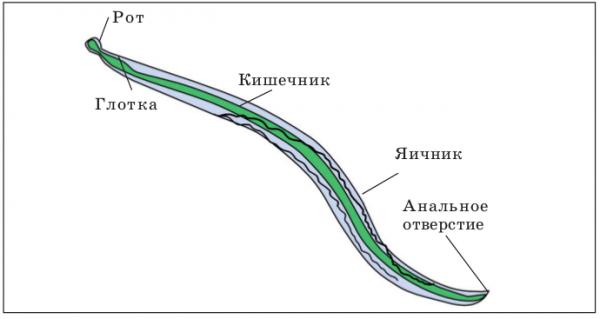 Нематоди: особенности строения и жизненний цикл