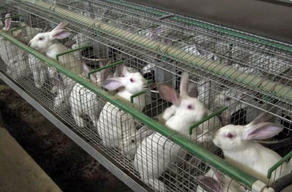 Глисты у кролей