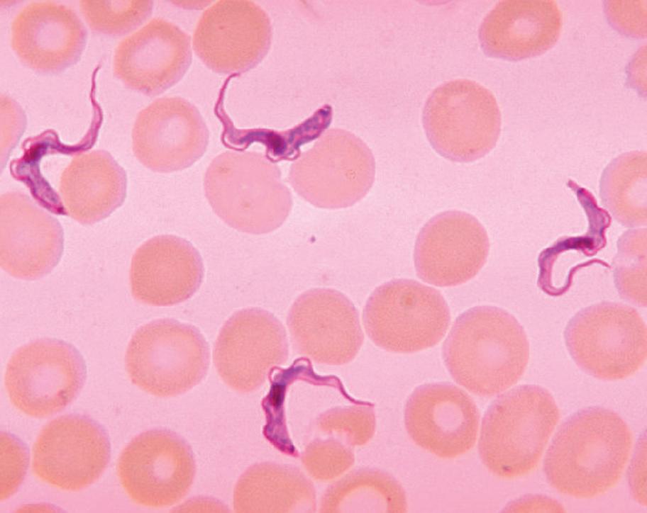 Паразиты крови