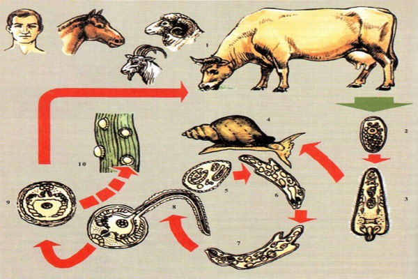 Фасциолез человека и животних: симптоми и лечение