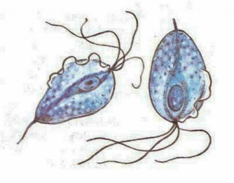 простейший микроорганизм трихомонада